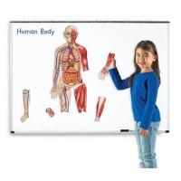 Corpul uman - Set magnetic educativ